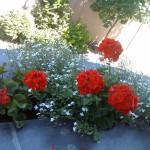 Sadnja sezonskog cvijeća