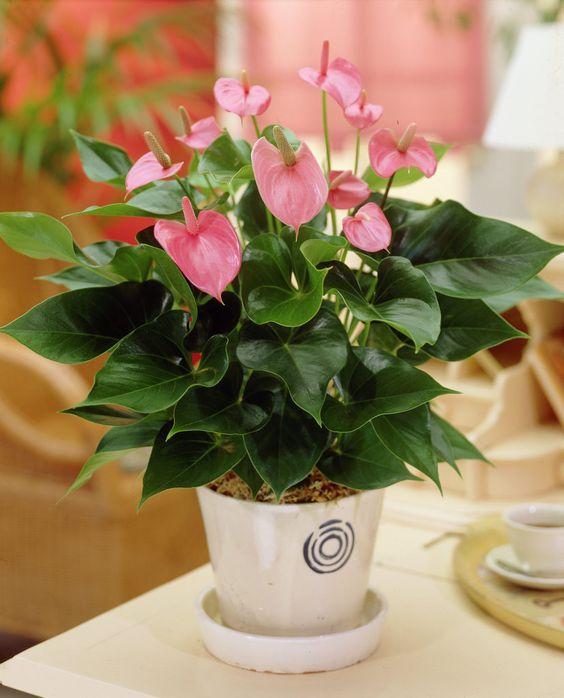 anturijum kucno cvijece