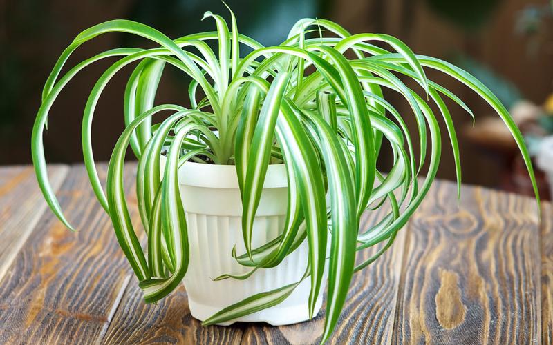 biljka pauk za preciscivanje vazduha