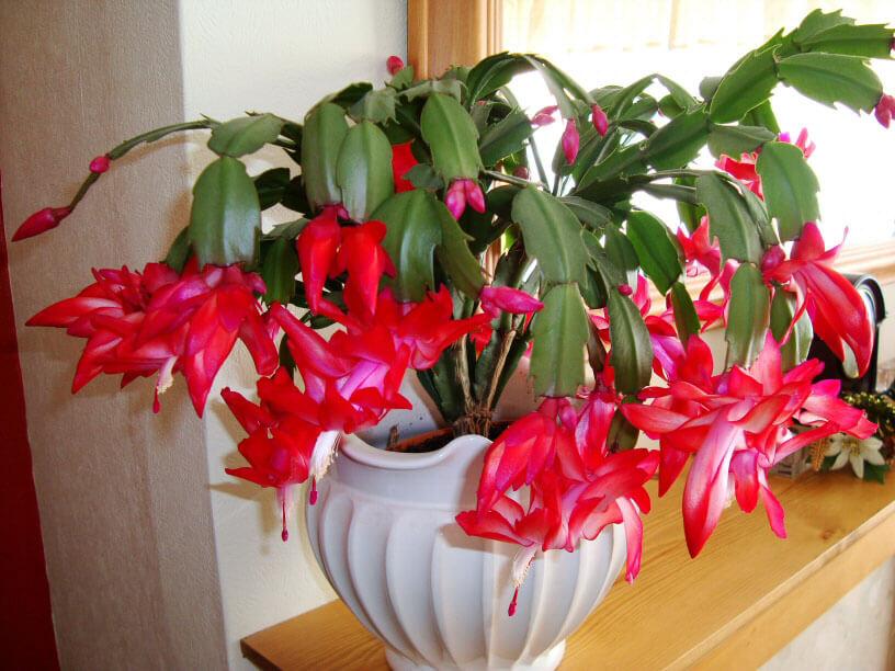bozicni kaktus kucno cvijece