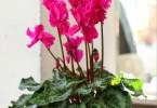 ciklama biljka