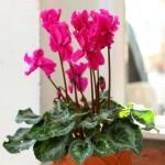 Ciklama: biljka koja zimi uljepšava dom
