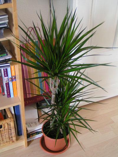dracena biljka za ciscenje vazduha