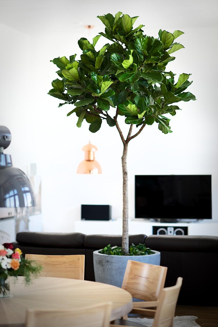 fikus biljke koje preciscavaju vazduh