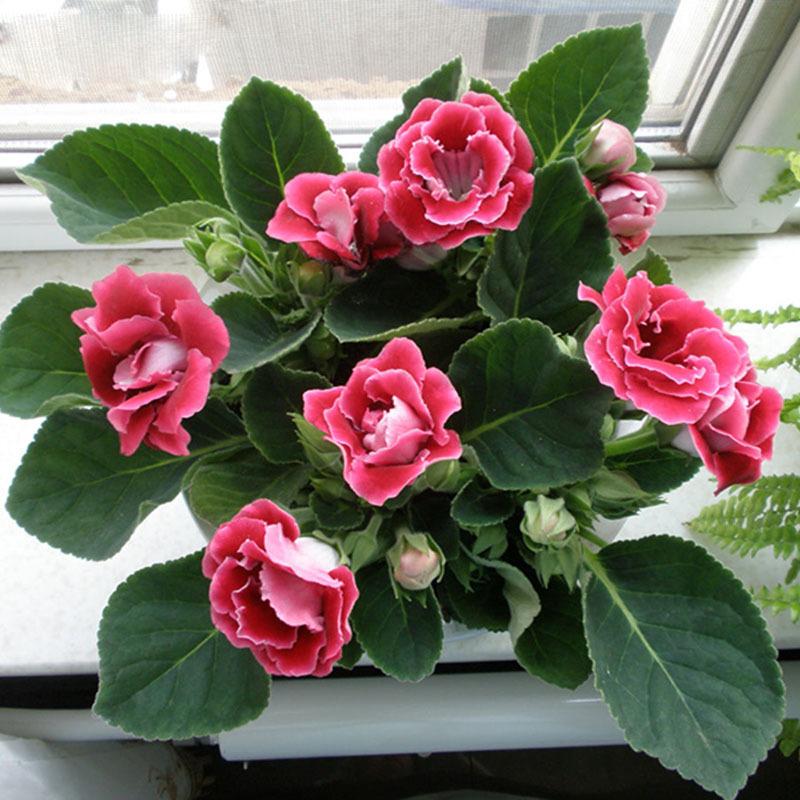 gloksinija kucno cvijece