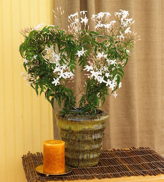kucno cvijece koje mirise jasmin