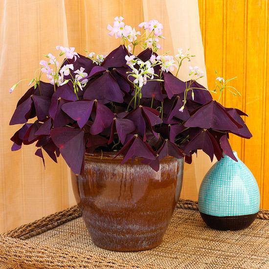 kucno cvijece ukrasna djetelina cecelj