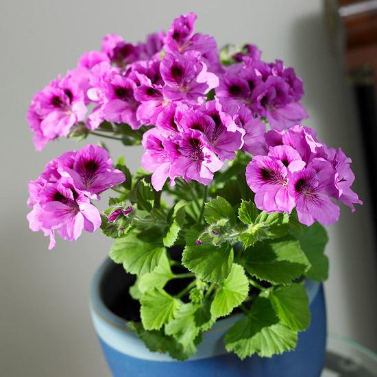 pelargonija kucno cvijece