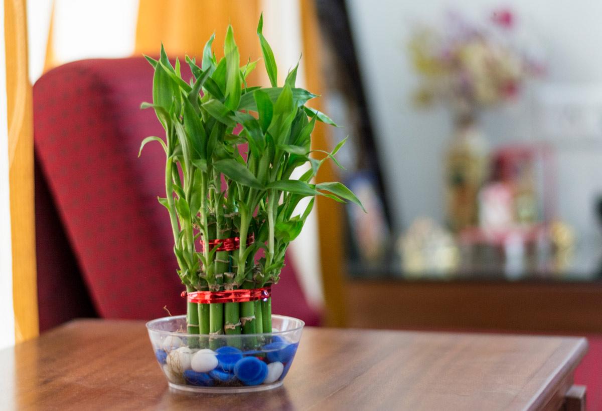 srecni bambus biljka koja donosi srecu
