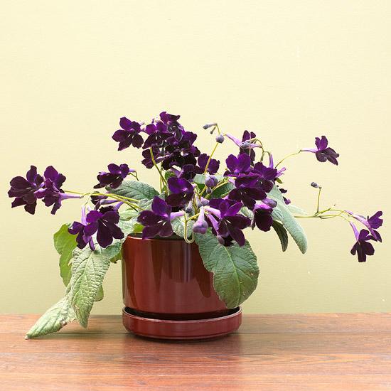 streptocarpus cvijece u kuci
