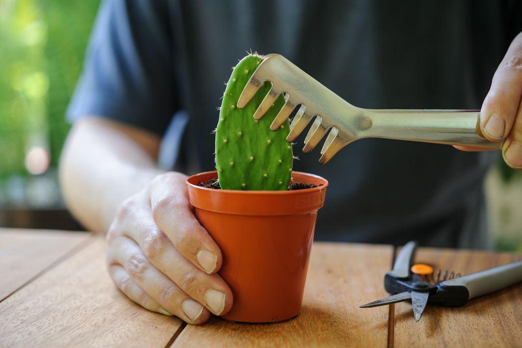 kako posaditi kaktus reznicama