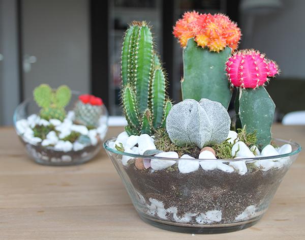 kaktusi zemlja