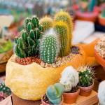 Uzgoj kaktusa u kući: Kako posaditi i održavati kaktus?
