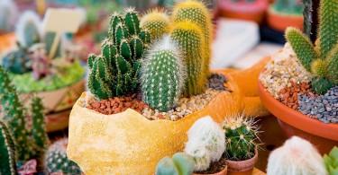 uzgoj kaktusa u kuci