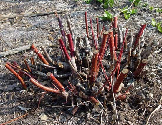 podmladjivanje biljaka