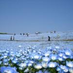 Jedan park u Japanu svakog proljeća prekrije 4,5 miliona plavih cvjetova