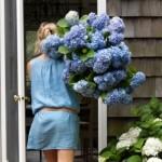 Hortenzije – sve što vam je potrebno za raskošan cvjetni dekor