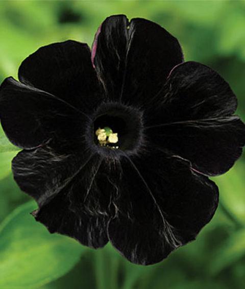crna petunija