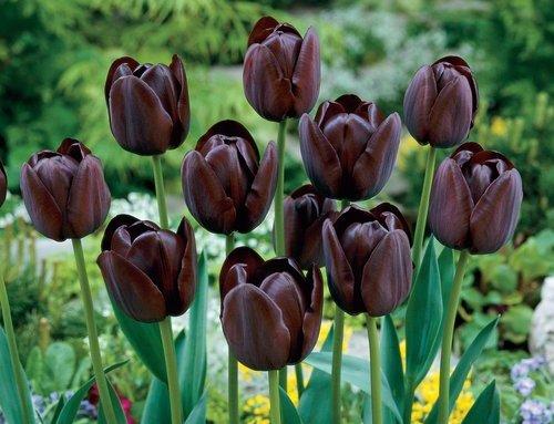 crni tulipani