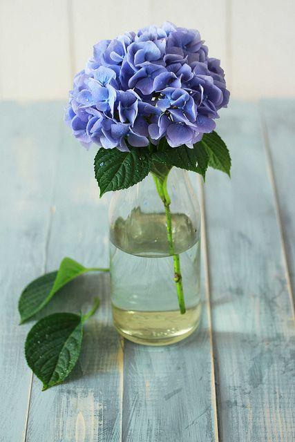 hortenzije