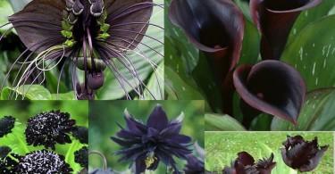 najljeopse crno cvijece