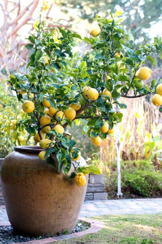 citrus pot arizona backyard ideas decor california phoenix small garden