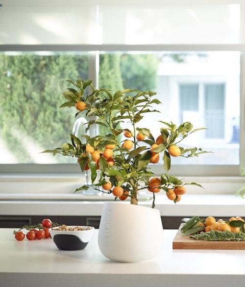 dekorativni agrumi u kuci