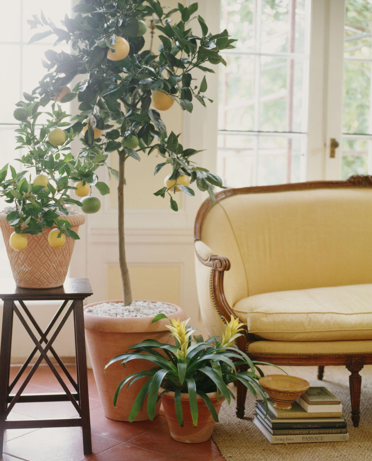 drvo limuna u kuci