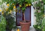kako uzgajati dekorativne agrume u kuci