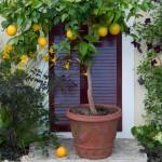 Kako gajiti dekorativne agrume u kući
