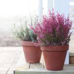 Erika, idealna biljka za zimski period