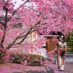 Proljeće nigdje kao u Japanu: Magični prizori procvjetale trešnje