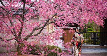 cvjetanje tresnjinog cvijeta japan