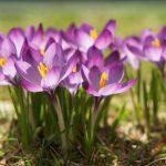 Za šarenilo u vrtu: Pravila za sadnju lukovica