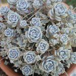 Srebrna ružica – posebno lijepa vrsta čuvarkuće