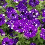 Posebne petunije: Cvijeće čije latice izgledaju kao zvjezdano nebo
