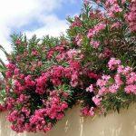 Oleandar – dašak Mediterana u vašem vrtu