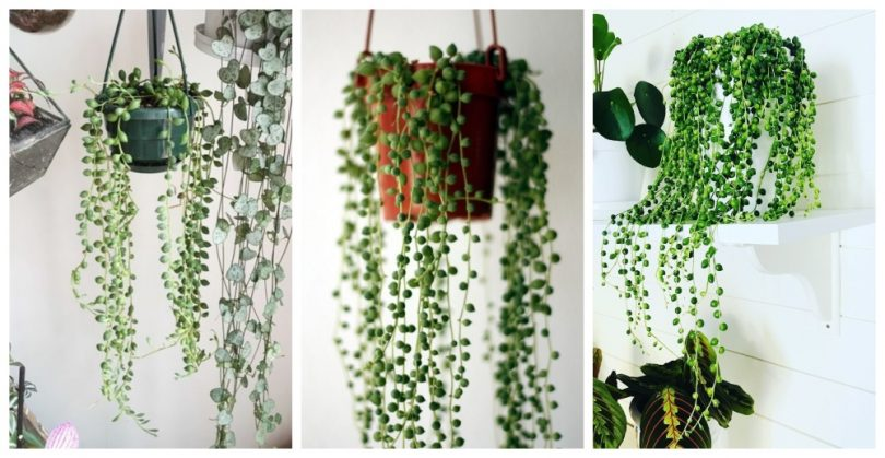 biljka niska bisera sukulenti