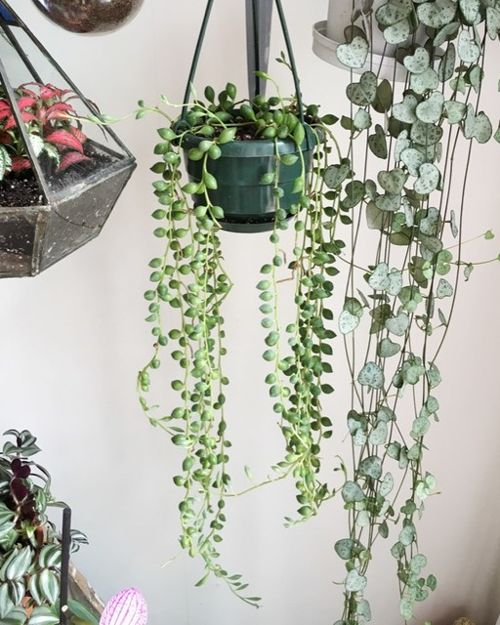 biljka niska bisera