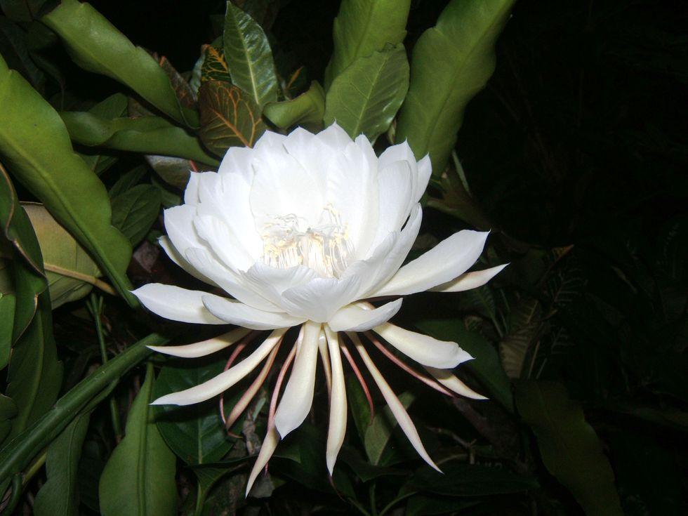 kadupul najskuplji cvijet