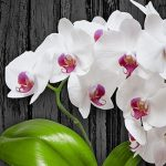 """Orhideja nikako da vam ponovo procvjeta? """"Nahranite"""" je ovim čajem"""