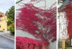 biljke penjacice jesen lozica