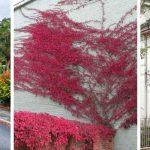 Raskoš jesenjih boja: Kuće u zagrljaju penjačica
