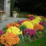 Jesenje ruže: Hrizanteme za šarenu jesen