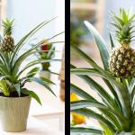 I vi možete u svom domu uzgojiti ananas, a postupak je vrlo jednostavan