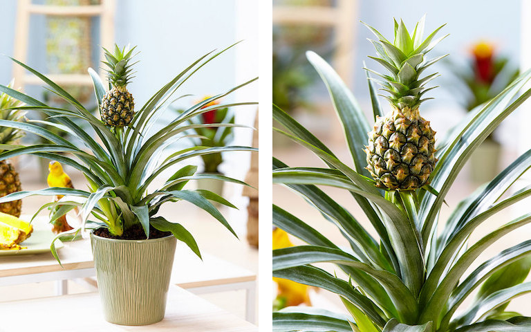 kako uzgojiti ananas