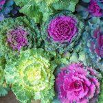 Ukrasni kupus – za šareni vrt i tokom zime