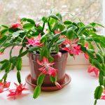 Božićni kaktus ili Decembar, biljka koja nas zimi obraduje divnim cvjetovima