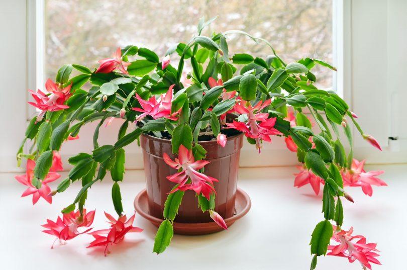 decembar biljka