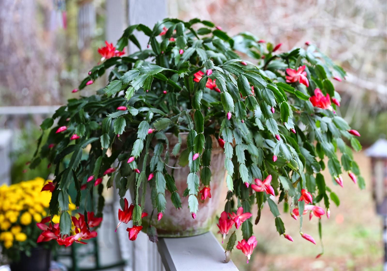 decembar bozicni kaktus
